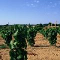 img Jeune vigne, appelée Plante, qui donnera ses premiers raisins seulement la troisième année